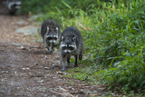 Two Raccoons Walking Photographic Print by Sheila Haddad