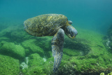 Galapagos Green Sea Turtle Underwater, Galapagos Islands, Ecuador Photographic Print by Pete Oxford