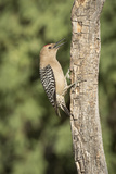 USA, Arizona, Amado. Male Gila Woodpecker on Dead Tree Trunk Photographic Print by Wendy Kaveney