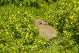 Falkland Islands, Sea Lion Island. Falkland Skua Chick Hidden Photographic Print by Cathy & Gordon Illg