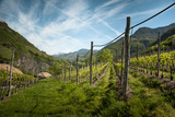 A Vineyard on a Hillside in Northern Italy with the Alps Photographic Print by Sheila Haddad