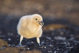Falkland or Brown Skua or Subantarctic Skua Chick. Falkland Islands Photographic Print by Martin Zwick