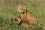 Red Fox Kits Photographic Print by Ken Archer