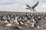 Falkland Islands, Bleaker Island. Imperial Shag Nesting Colony Photographic Print by Cathy & Gordon Illg