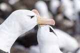 Black-Browed Albatross Greeting Courtship Display. Falkland Islands Papier Photo par Martin Zwick