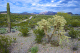 Organ Pipe Cactus NM, Saguaro and Cholla Cactus in the Ajo Mountains Photographic Print by Richard Wright
