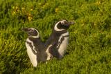 Falkland Islands, Carcass Island. Close-up of Magellanic Penguins Photographic Print by Cathy & Gordon Illg