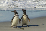 Falkland Islands, Sea Lion Island. Magellanic Penguins on Beach Photographic Print by Cathy & Gordon Illg