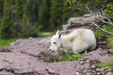 USA, MT, Glacier NP. Logan Pass. Mountain Goat Kid Hunkers Down in Cold Photographic Print by Trish Drury