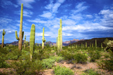 Organ Pipe Cactus National Monument, Ajo Mountain Drive in the Desert Photographic Print by Richard Wright