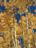 Golden Colored Aspen Trees, Coconino National Forest, Arizona Photographic Print by Greg Probst