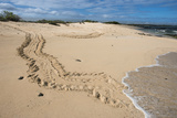 Galapagos Green Sea Turtle Tracks. las Bachas, Galapagos, Ecuador Photographic Print by Pete Oxford