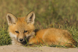 Red Fox Kit Photographic Print by Ken Archer