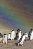 Gentoo Penguin on the Falkland Islands, Rookery under a Rainbow Photographic Print by Martin Zwick