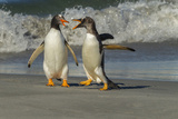 Falkland Islands, Sea Lion Island. Gentoo Penguins Arguing on Beach Photographic Print by Cathy & Gordon Illg