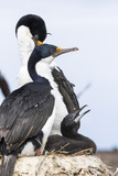 Imperial Shag in a Huge Rookery. Adult with Chick in Nest Photographic Print by Martin Zwick