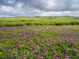 Isle of Lewis, Machair with Red Clover (Trifolium Pratense). Scotland Photographic Print by Martin Zwick