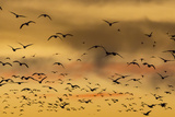 New Mexico, Bosque del Apache NWR. Snow Geese Flying at Sunset Photographic Print by Don Paulson