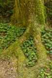 USA, California, Redwoods National Park. Clover at Tree Base Photographic Print by Cathy & Gordon Illg