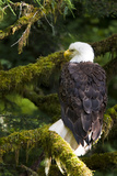 Raptor Center, Sitka, Alaska. Close-up of a Bald Eagle Sitting in Tree Photographic Print by Janet Muir