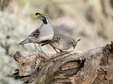 USA, Arizona, Buckeye. Male and Female Gambel's Quail on Log Reproduction photographique par Wendy Kaveney