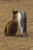 Falkland Islands, East Falkland. King Penguin Parent Feeding Chick Photographic Print by Cathy & Gordon Illg