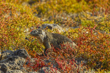 Ecuador, Galapagos National Park. Land Iguana in Colorful Vegetation Photographic Print by Cathy & Gordon Illg