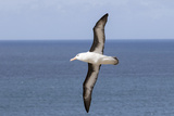 Black-Browed Albatross or Mollymawk, Flight Shot. Falkland Islands Reproduction photographique par Martin Zwick