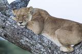 Female Lion Sleeping in Acacia Tree in Jungle, Ngorongoro, Tanzania Foto af James Heupel