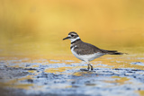 Wyoming, Sublette Co, Killdeer in Mudflat with Gold Reflected Water Papier Photo par Elizabeth Boehm