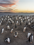 Gentoo Penguin (Pygoscelis Papua) on the Falkland Islands, Rookery Photographic Print by Martin Zwick