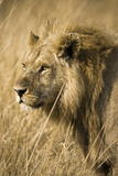 Okavango Delta, Botswana. Close-up of a Male Lion. Profile Photo by Janet Muir