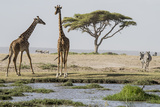 East Kenya, Outside Amboseli NP, Pair of Maasai Giraffe at Waterhole Photo by Alison Jones