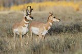 Pronghorn Antelope Buck Courting Doe Photographic Print by Ken Archer