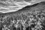 USA, Colorado, Crested Butte. Wildflowers Cover Hillside Fotografisk trykk av Dennis Flaherty