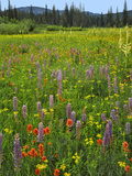 USA, Oregon, Mount Hood NF. Wildflowers in Summit Meadow Photographic Print by Steve Terrill