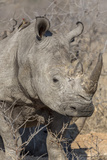 South Ngala Private Game Reserve. Close-up of White Rhino Photo by Fred Lord