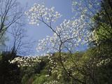 Tennessee, Great Smoky Mountains NP, Flowering Dogwood Trees (Cornus) Photographic Print by Christopher Talbot Frank