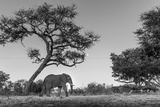 Botswana, Moremi Game Reserve, African Elephant at Moonrise Photo af Paul Souders