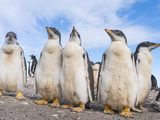 Gentoo Penguin on the Falkland Islands, Half Grown Chicks Photographic Print by Martin Zwick