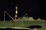 Jumping Stick Insect Female, Yasuni NP, Amazon Rainforest, Ecuador Photographic Print by Pete Oxford