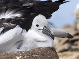 Mollymawk Chick with Adult Bird on Nest. Falkland Islands Reproduction photographique par Martin Zwick