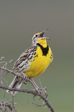 Western Meadow Lark Singing Photographic Print by Ken Archer