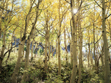 California, Sierra Nevada, Autumn Colors of Aspen Trees in the Forest Photographic Print by Christopher Talbot Frank