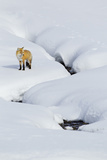 Red Fox in Winter Photographic Print by Ken Archer