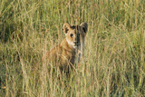 Kenya, Maasai Mara, Mara Triangle, Mara River Basin, Lion Cubs Photo by Alison Jones