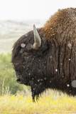 USA, South Dakota, Custer State Park. Profile of Bison Photographic Print by Cathy & Gordon Illg