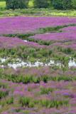 USA, Oregon, Oaks Bottom. Purple Loosestrife Flowers in Marsh Photographic Print by Steve Terrill