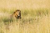 Kenya, Maasai Mara, Mara Triangle, Mara River Basin, Male Lion Photo by Alison Jones