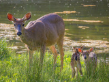USA, Washington State, Seabeck. Blacktail Deer with Twin Fawns Photographic Print by Don Paulson